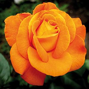 Glace à la rose Louis de Funès