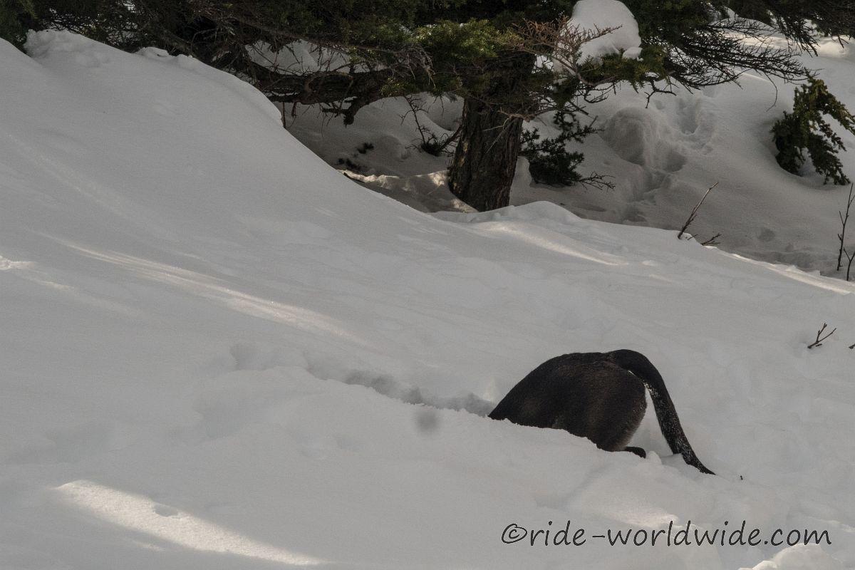Merlin sucht seinen Ball, immer tiefer im Schnee