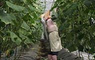 キュウリ収穫作業