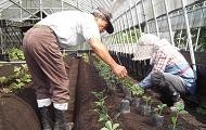 イチゴ植付作業