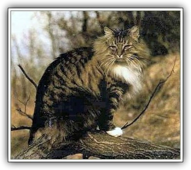 Pans Truls,              (Gato modelo para elaborar el estándar)