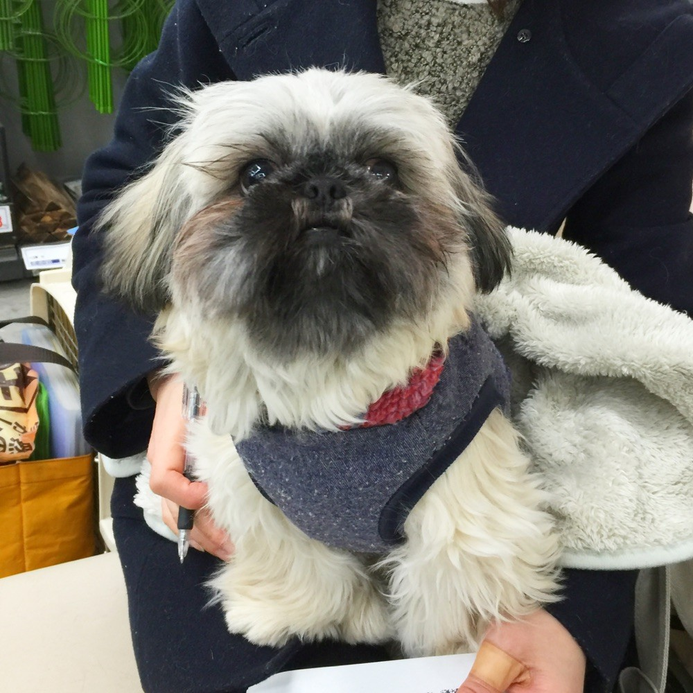 2016年2月 酒田市のペキニーズ&シーズーmixのハナちゃん!