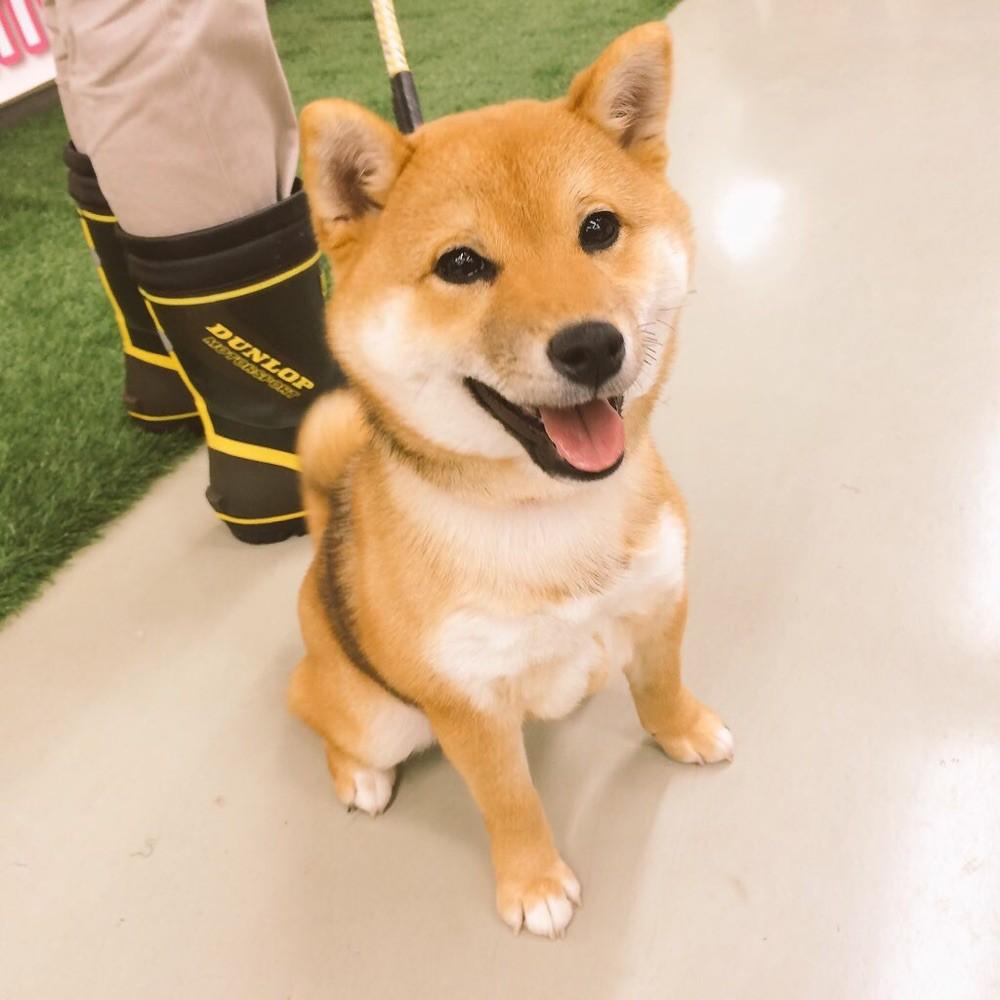 2016年1月☆酒田市の柴犬クッキーちゃん!5ヶ月!