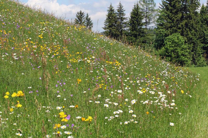Frühlingsblumenwiese bei Rottach