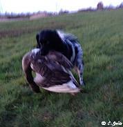 Terugkomst van een sleep met een aanzienlijk grote Grauwe gans  - ( Isolde brings in a big gray goose )