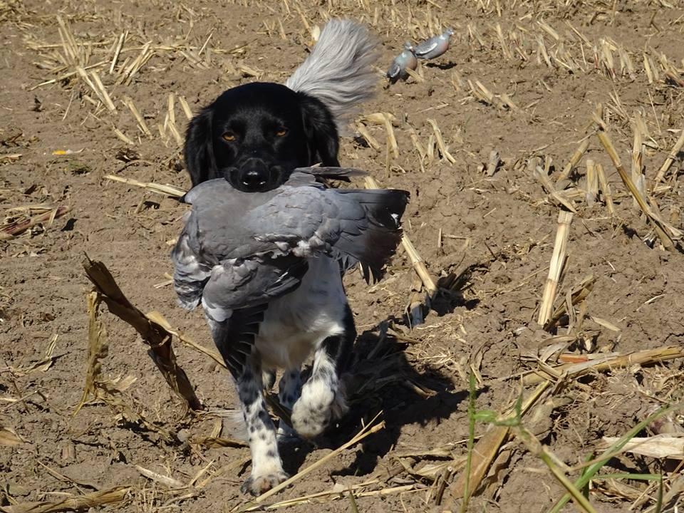 Beyond magic stardust in your eyes werkhond jachthond stabijhoun friese stabij jagen duif duivenjacht nederlandse ras hond