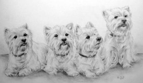 Bleistiftzeichnung West Highland Terrier