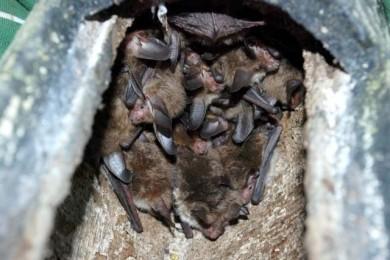 Seltener Fund im Fledermauskasten: Eine Gruppe von 15 Exemplaren der Bechsteinfledermaus.