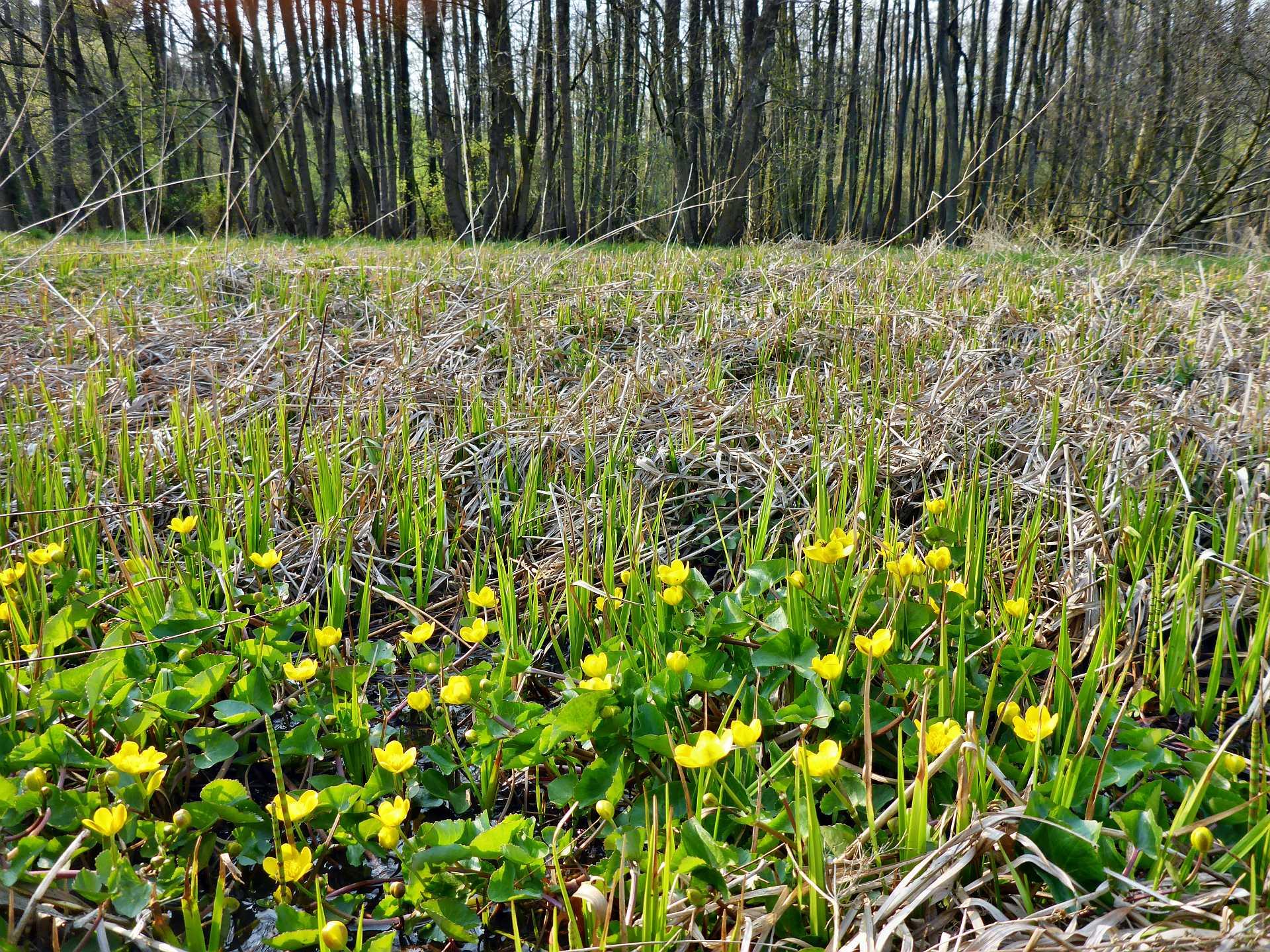 Sumpfdotterblumen - auch auf der Feuchtwiese am Rand des Auwaldes.