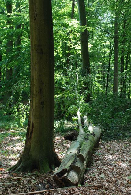 Kronenbruch einer Buche im 'Fledermauswald' im Mai 2009...