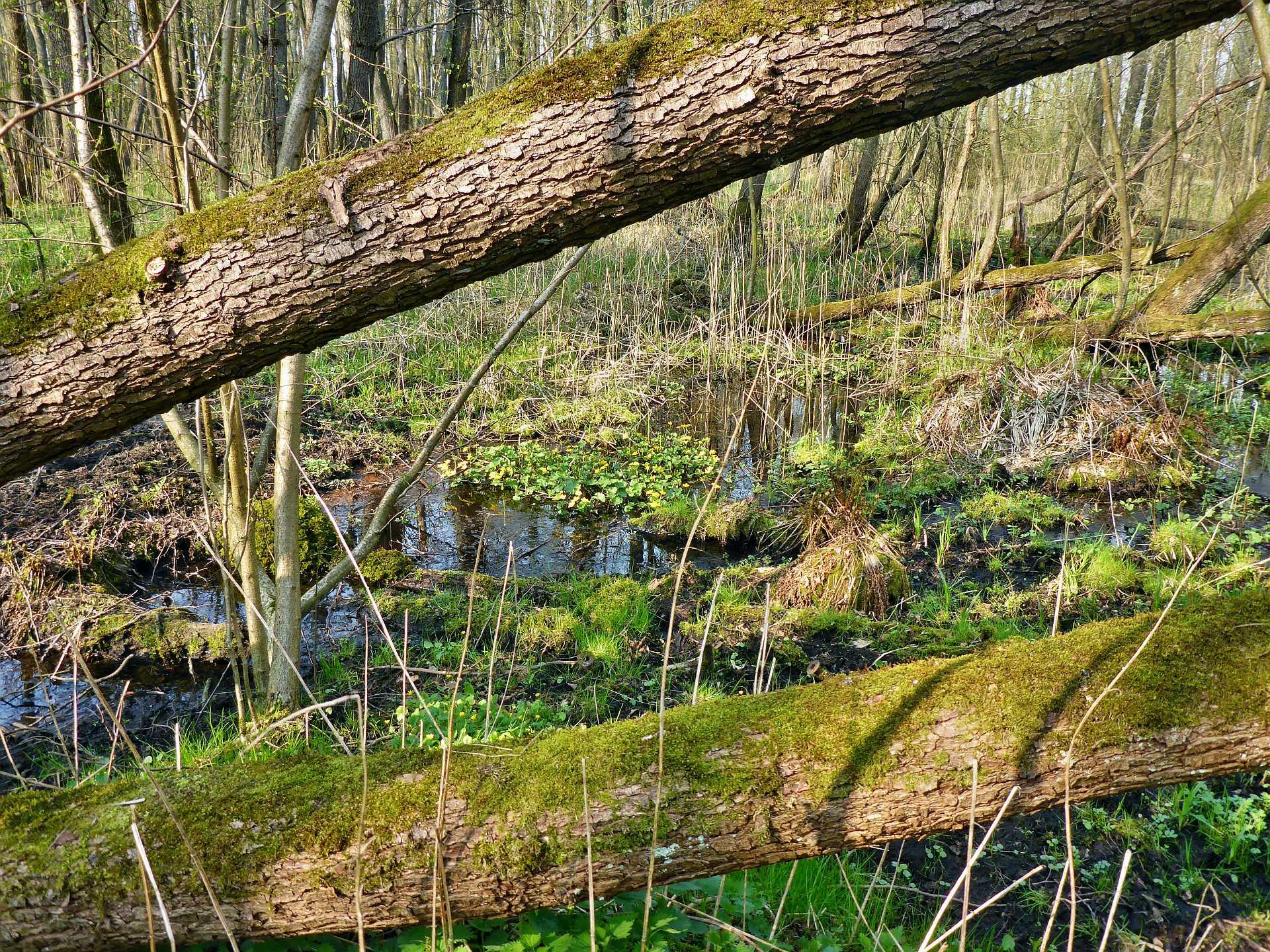 Ziemlich nass und ziemlich undurchdringlich: Die Auwaldbereiche.