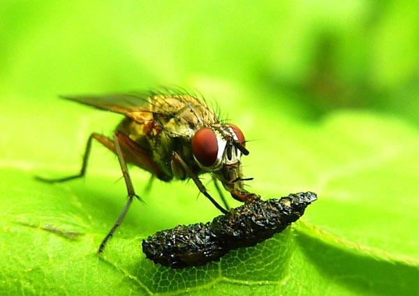 Fliege bei einener Insektenkottmahlzeit