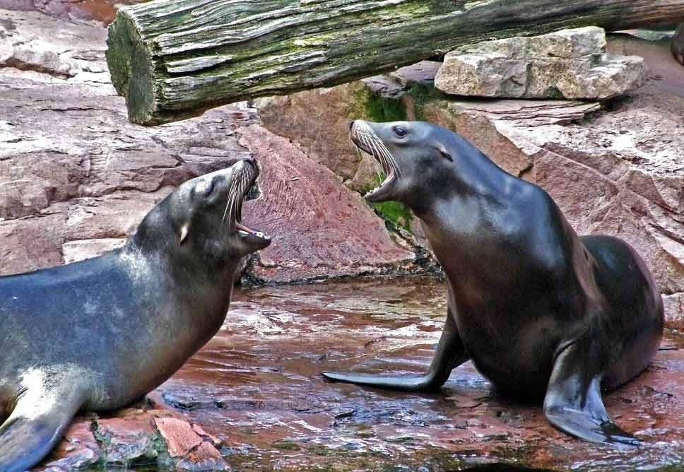 Karlifornische Seelöwen/Zickensof