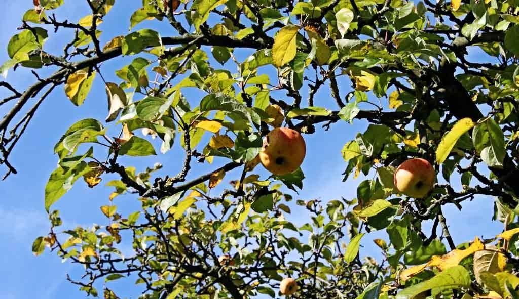 Reife Äpfel im Burggarten!
