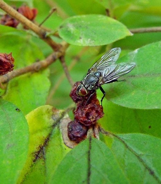 Fliege und Beeren