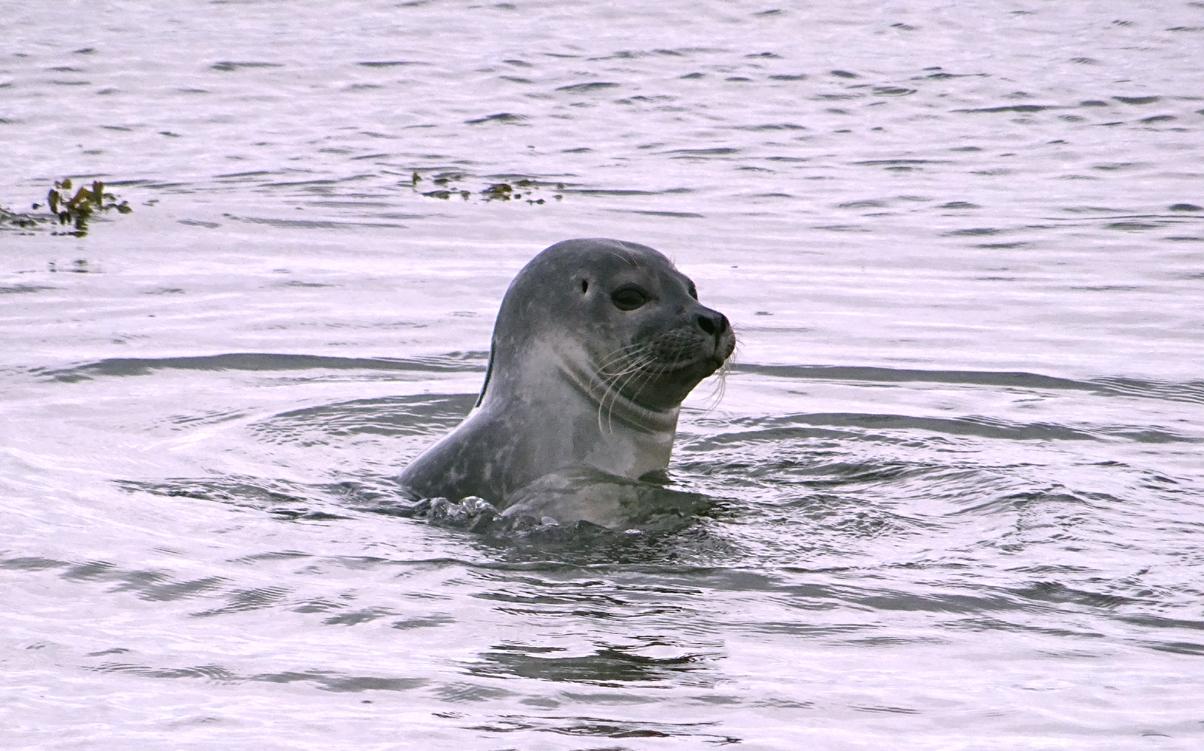 Aire de repos pour les phoques à l'ouest : colonie d'une trentaine d'individus.