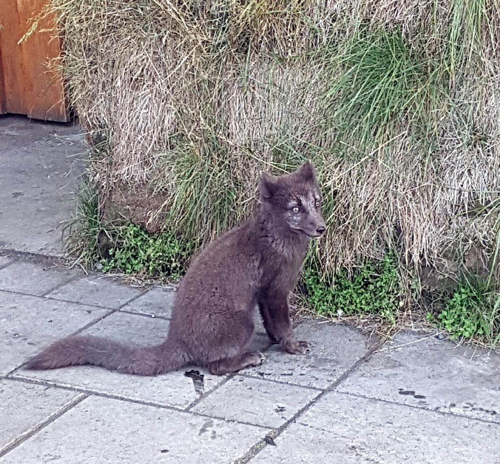 Un renard polaire de Möðrudalur qui attends les restes des touristes...