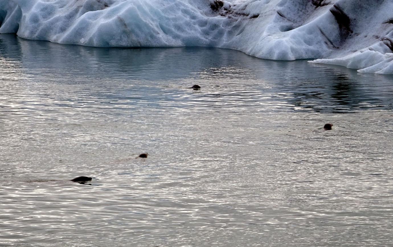 Quelques phoques apprécient ces lieux saumâtres