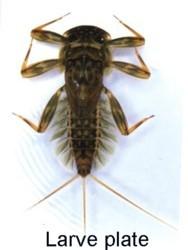 larve plate d'éphémère