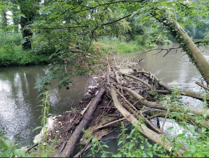 Cépée de frênes déracinée à Villers-Saint-Sépulcre