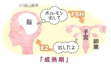 成熟期のホルモン分泌のイメージ図(by新潟市の漢方薬専門店「西山薬局」)