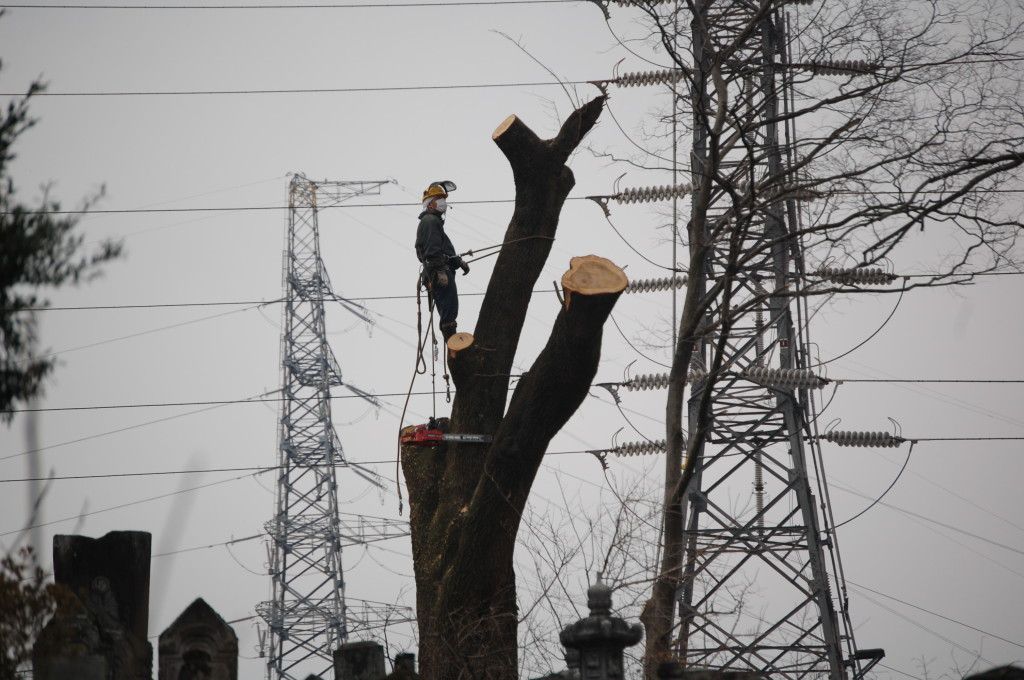 大きな木は三段階にて伐採するんですね