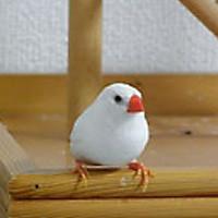 tsubasa2013年に里親が決まったキンカチョウ