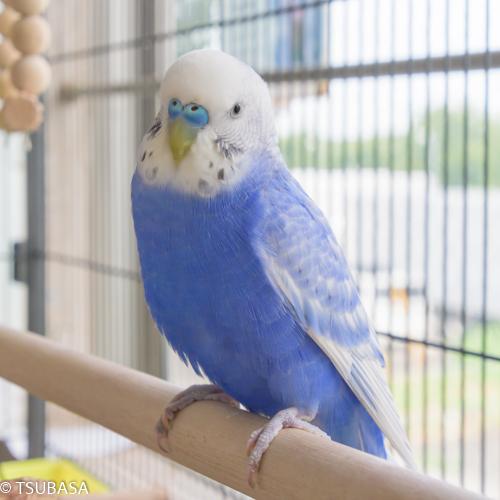 ピート@セキセイインコ - 飼い鳥のレスキュー団体/TSUBASA
