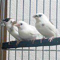 tsubasa2013年に里親が決まった十姉妹