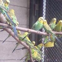47羽 セキセイインコ遺棄におけるレスキュー