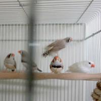 tsubasa2014年に里親が決まったキンカチョウ5羽