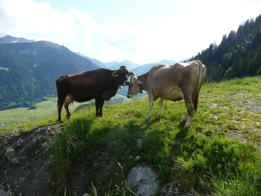 Kühe die sich verstehen