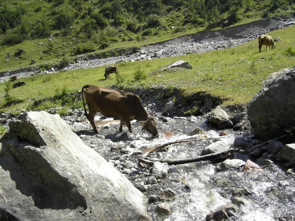 Kuh am Kaiserbach