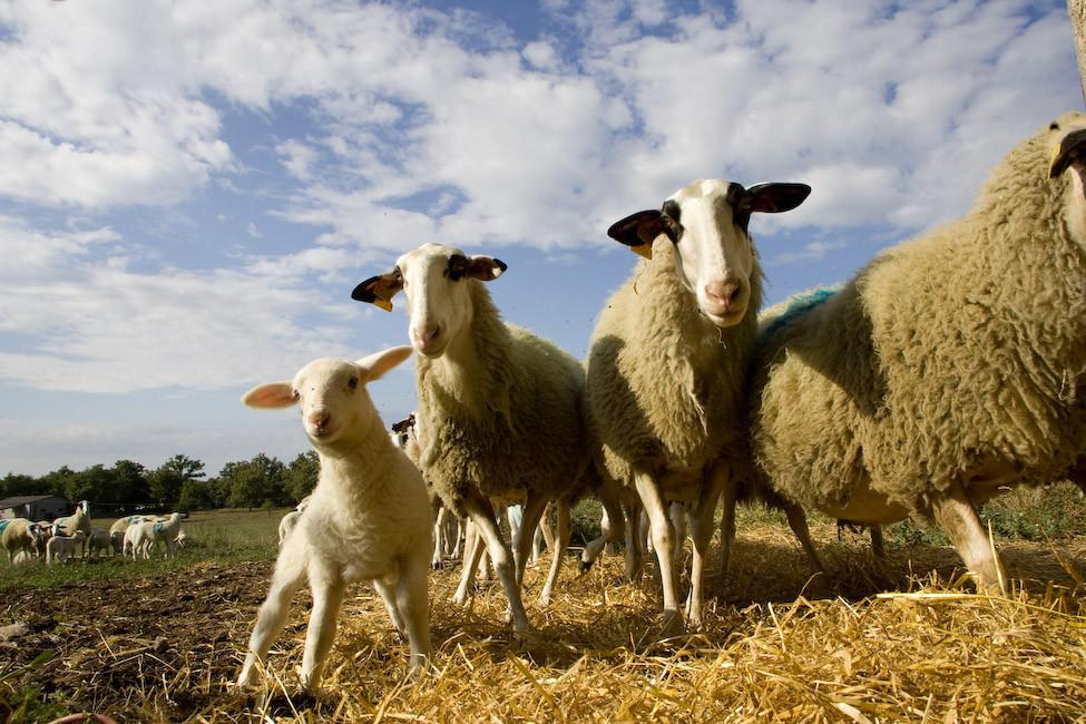 nos agneaux du Querçy