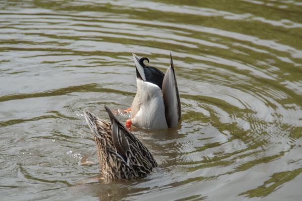 Synchronschwimmendes Stockentenpaar.