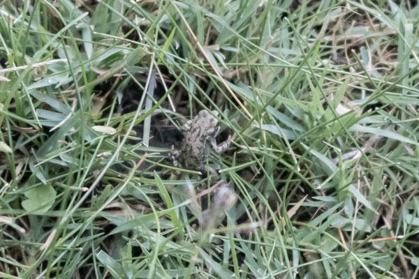 Ein winziger Frosch krabbelt auf unserem Biwakplatz umher.