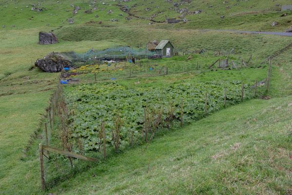 Die Anpflanzugsmöglichkeiten halten sich in Grenzen: Rhabarber wächst und gedeiht hier!