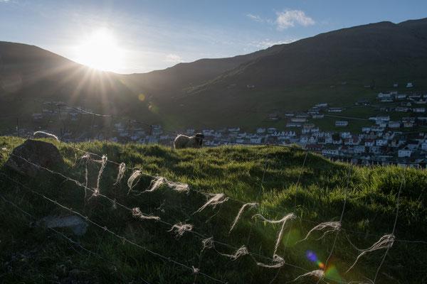 Schafswolle ist überall auf den Inseln anzutreffen, häufig fetzenweise am Boden.