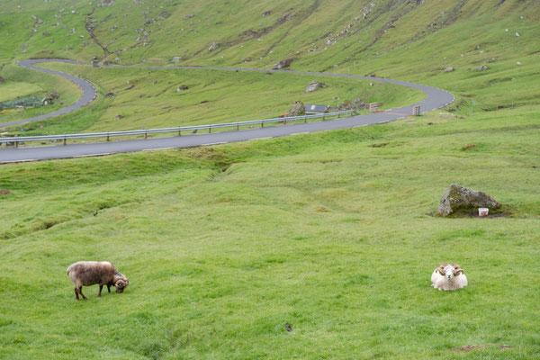 Die Schafvielfalt auf den Färöern ist recht gross - nicht mal für uns sehen alle gleich aus.