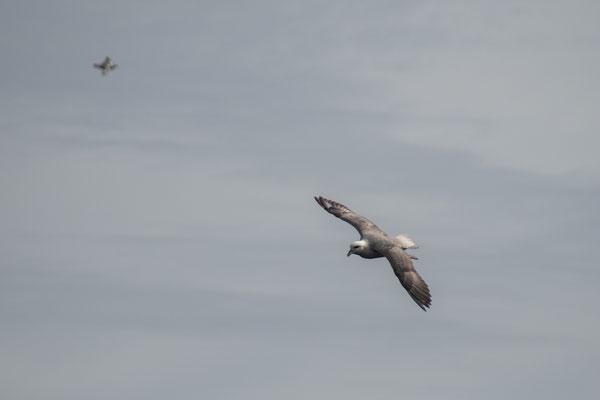 Eissturmvogel im Flug.
