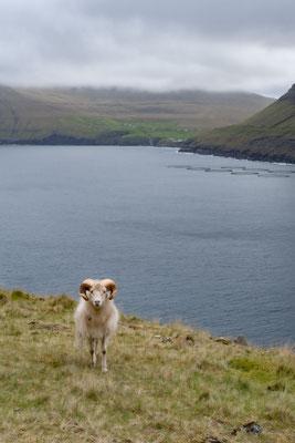 Neben Wasserfällen sind auch Schafe ein beliebtes und allgegenwärtiges Fotomotiv (es gibt mehr Schafe hier als Menschen).