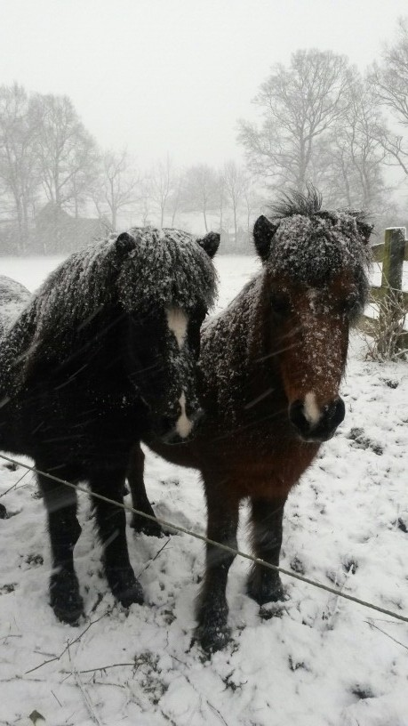 Egal bei welchem Wetter, die Islandwallache Faxi und Odin sind immer bereit für ihren Einsatz.