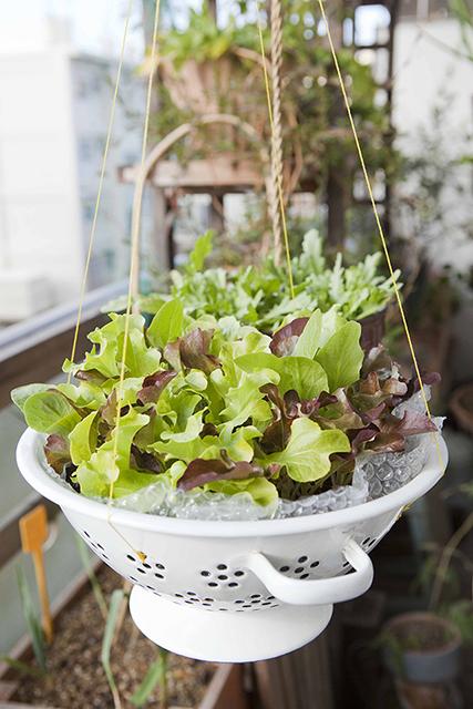 つるし鉢で育てるレタスミックス