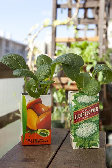 野菜のパックで再生栽培される小松菜