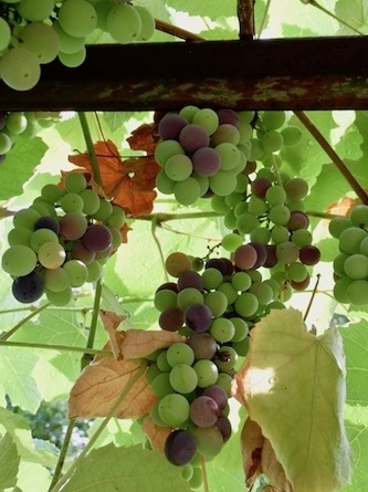 Casafredda grapes