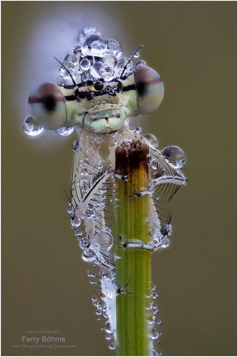 """""""Echt cool!"""" - Weibchen der Federlibelle"""