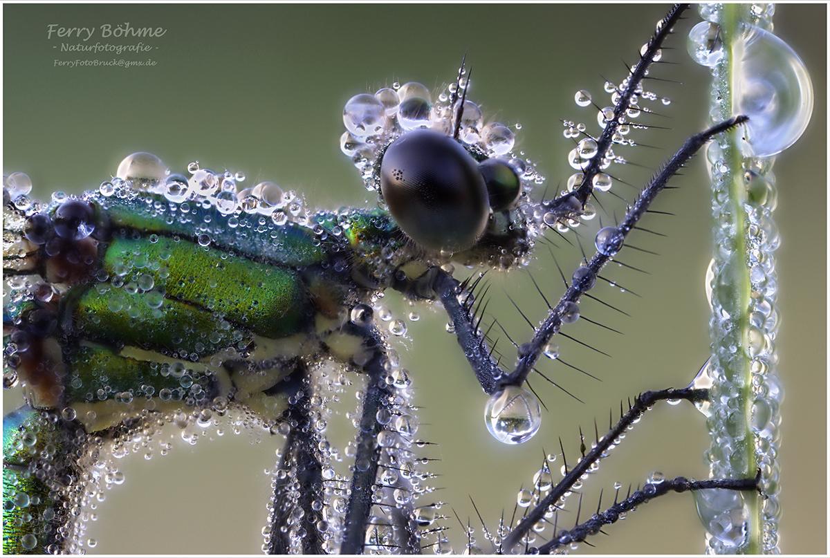 Weibchen der Gebänderten Prachtlibelle - Stacking