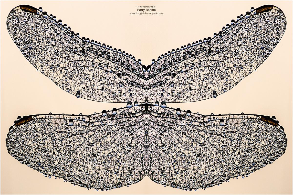 Flügelstudie des Kleinen Blaupfeils