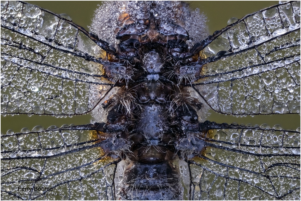 Rückendetail des Kleinen Blaupfeils - mehr gibt's im Libellenportfolio!