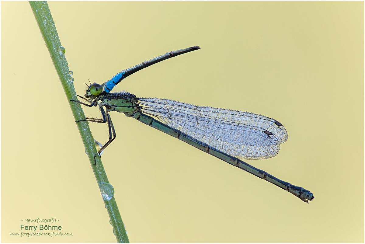 Seltener Fund - 1 1/2 Granataugenlibellen - das Männchen wurde vermutlich beim Paarungsflug zur Hälfte weggefressen